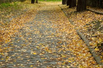 Walk Road Covered with Fall Maple Leaves